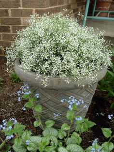 euphorbia.diamond.frost. Annual except in zone 10; full sun to partial shade; mounding habit;10 to 14 inches tall.