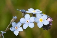 Forget-Me-Not, tolerant of partial shade, clay soil, thrives in wet places. Good for ground cover.