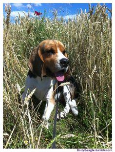 Wheat?? No! I call it Beagle Brush!