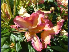 Rhododendron 'Golden Gate'