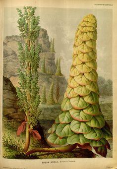https://flic.kr/p/dNFV32 | n183_w1150 | L'Illustration horticole :. Gand, Belgium :Imprimerie et lithographie de F. et E. Gyselnyck,1854-1896.. biodiversitylibrary.org/page/15484234
