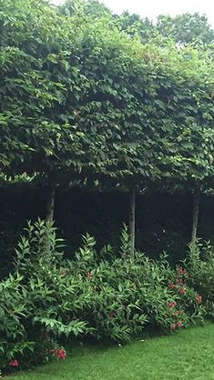 Fagus Sylvatica Pleached Beech Trees - excellent quality rootball trees at great prices, perfect for screening above a fence or wall, buy UK. Privacy Trees, Privacy Plants, Fence Plants, Back Gardens, Outdoor Gardens, Front Yard Garden Design, Hedging Plants, Garden Screening, Garden Trees