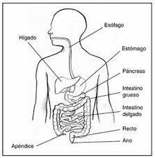 Resultado De Imagen Para Sistema Digestivo Partes Para