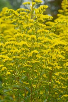 Goldenrod thrives in poor to moderately fertile, well-drained soil in full sun. Despite its reputation, goldenrod is not the source of fall allergies; ragweed, which blooms at the same time, is.