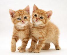 British Shorthair Red Tabby Kittens Tabby Kitten Kittens And