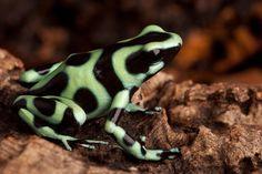Golden Poison Dart Frog by Dirk Ercken - Golden Poison Dart Frog ...