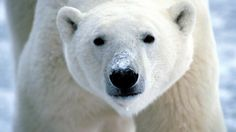 Download Animals Polar Bear Arctic Life wallpaper 203679
