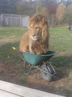 This Lion Got Into A Wheelbarrow At A Zoo And It Was Pretty Whimsical