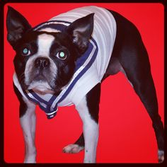 Lucy the Boston Terrier dog is ready to go sailing! And she's looking fierce :) www.fetchdogfashions.com  #puppy