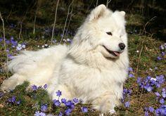 Szamojéd kutya: történelem, természet, jellemzőit és ellátás (+ kép és videó)