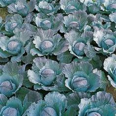Cabbage Integro F1 Organic