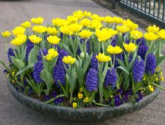 Love this planter of bulbs for spring!
