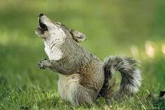 Wolf or squirrel?