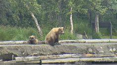 I'm watching #bearcam on @exploreorg, streaming live from Brooks Falls, Alaska at @KatmaiNPS: