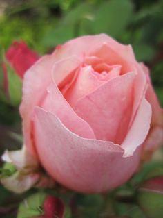 ~Rose ' Paul Bocuse ' , Guillot.