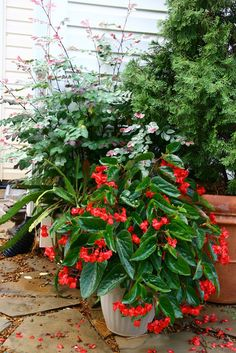 Care instruction for a Dragon Wing Begonia