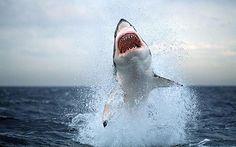Shark !