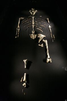 """Remains:  3.2-million-year-old Australopithecus afarensis #skeleton called """"Lucy,"""" part of an exhibit displayed during a press preview at the Houston Museum of Natural Science, Houston, Texas, USA."""