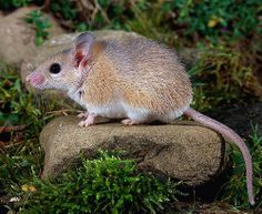 farm MOUSE mice | spiny mouse (scient. Acomys minous) a threatened species of mouse ...