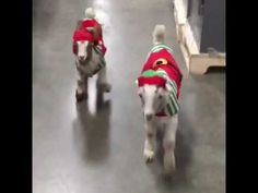 Goats in Elf Costumes Roam Store Elf Costume, Costumes, Funny Romance, Under The Mistletoe, Goats, Store, Youtube, Cute, Animals