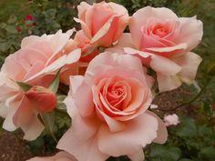 'Mother of Pearl' Grandiflora - ARS Rating 8.1- heat tolerant rose