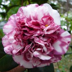 Exotic Plants, Exotic Flowers, Amazing Flowers, My Flower, Beautiful Roses, Beautiful Flowers, Camelia Rosa, Magnolia, Rhododendron