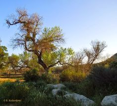 Capturing the Paso Robles Area with My Camera: Two Cottonwood Trees with Character at Larry Moore Park