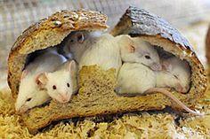 Mäuse.