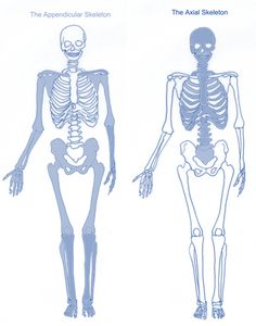skeleton axial & appendicular