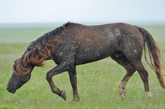 Feral stallion, descendant from Budyonny, on a large island in Manych Lake in the Rostov district. Russia.