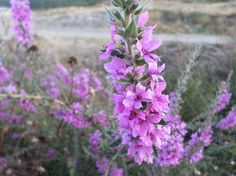 Purple loosestrife - National Geographic Your Shot