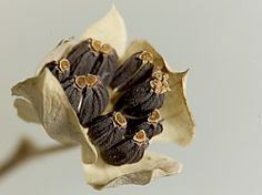 Bupleurum rotundifolium.  hare's ear seeds