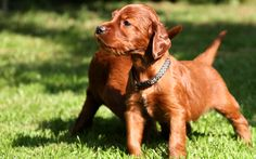 #vetsswale The beautiful Irish Setter makes a fantastic family pet for an active family. These happy-go-lucky dogs possess a rollicking personality