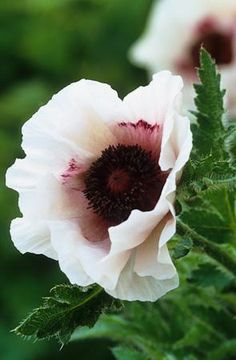 Papaver orientale 'Royal Wedding' -- I really want some of these gorgeous oriental poppies for the garden