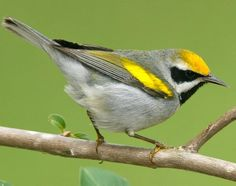 Mystery of the Missing Migrants - Golden Winged Warbler #20