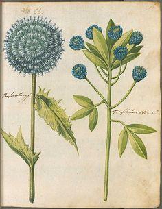 Hortulus Monheimensis 00123 by peacay #Botanical #Illustration #Print