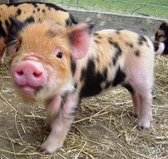 pot belly pigs: are they cute?I'm going to look for kune kune pigs ...