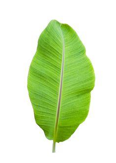 Isolate of banana leaf on white Premium Photo Tropical Leaves, Tropical Plants, Green Leaves, Plant Leaves, Banana Flower, Banana Art, Jungle Art, Banana Plants, Leaf Illustration
