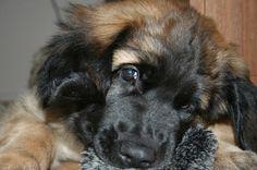Leonberger pup