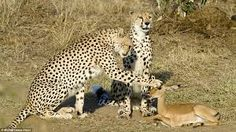 Tigress Caressing.