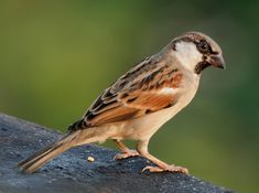 Pardal-doméstico (Passer domesticus)