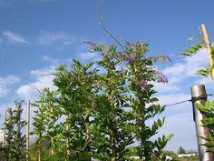 vendita-online-glicine-wisteria-prolific