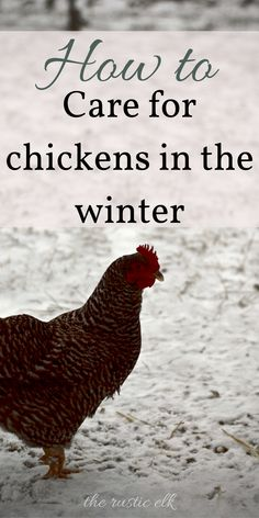 Caring for chickens in the winter can be confusing, but it doesn't have to be. Here is everything you need to know about preventing frostbite in your birds, feeding them, housing them, and more. #chickens