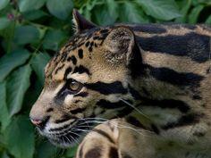 The Endangered Sunda Clouded Leopard - News - Bubblews