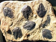 Trilobites come in so many varieties and sizes!  From the size of your finger nail to monsters that where 3 feet long!