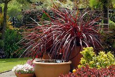 Festival Burgundy cordyline with lemon tree in container | by tesselaarusa