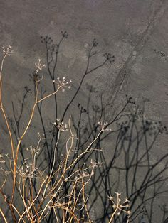Dried Flower Shadows by helenjagcat, via Flickr
