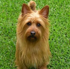 My first Aussie, Claire. My heart dog....