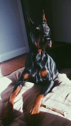 Perro Doberman Pinscher, Doberman Dogs, Dobermans, Animals And Pets, Baby Animals, Cute Animals, Mode Old School, Really Cute Dogs, Handmade Dog Collars