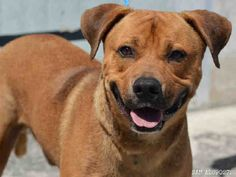***SUPER URGENT!!!*** - PLEASE SAVE SAM!! - EU DATE: 6/22/2015 -- Sam Breed:Labrador Retriever (mix breed) Age: Young adult Gender: Male Size: Large Shelter Information: Miami-Dade Animal Services 7401 NW 74 St  Miami, FL Shelter dog ID: A1690272 Contacts: Phone: 305-884-1101 Name: Adoptions email: Pets@miamidade.gov About Sam: SAM - ID#A1690272 I am an unaltered male, tan Labrador Retriever mix. The shelter staff think I am about 1 year and 2 months old I have been at the shelter since Apr…